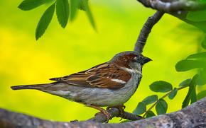 дерево, воробей, птица