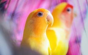 giallo, Pappagalli, sfondo, uccelli