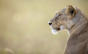 leonessa, Kenia, natura