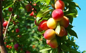 árboles, fruta, maduración, PRIMAVERA, ciruelas, jardín
