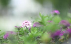 pink, nature, grass, GREEN, Flowers, greens, purple, Macro, blur, SPRING