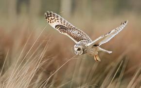 сова, птица, полёт