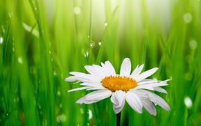 цветы, весна, белая, зелёная, красота, капли, ромашка, роса, свежесть, трава