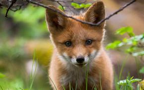 verdi, museruola, cucciolo, visualizzare, natura, fox