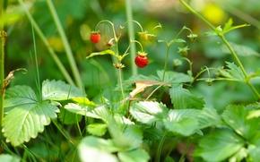 Macro, strawberry, BERRY