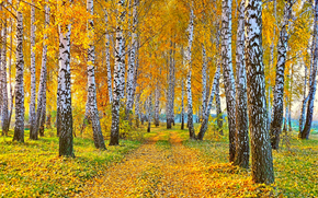 road, Birch, autumn, nature, landscape, yellow leaves