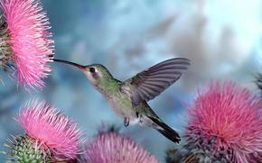 колибри, птичка, птицы, цветы, природа, голубой фон