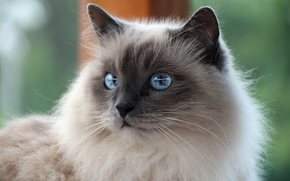 baffi, COTE, dagli occhi azzurri, Sacro di Birmania, bianco, razza, visualizzare, gatto, Birmano