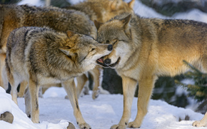 pack, couple, game, Wolves, winter, snow