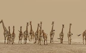 бег, пустыня, жирафы, Животные