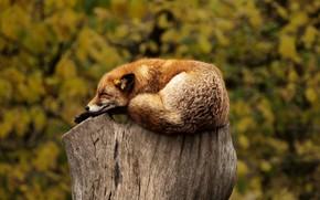 animali, moncone, fox