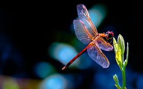 red, plant, dragonfly, leaves, sprout