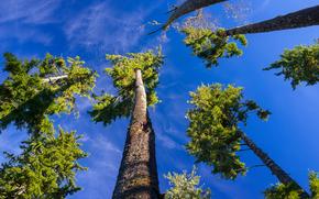 небо, деревья, ели, кроны, природа