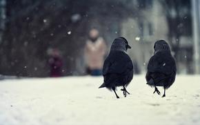 птицы, две, вороны, зима, снег