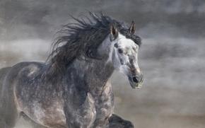 лошадь, жеребец, грива, галоп, серый, конь, бег