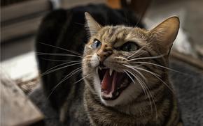 кошка, оскал, пасть, зубы, кот