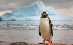 penguin, Antarctica, ice