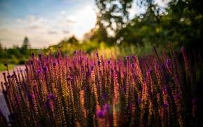 Fiori, estate, natura, tramonto, sole