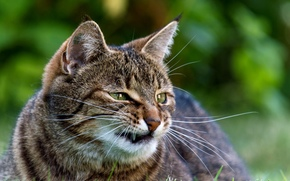 COTE, moustache, cat, Museau, rayé, greens, mal, herbe, canines