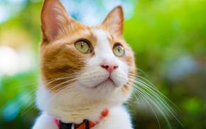 gatto, Red, museruola, collare, Muso, COTE