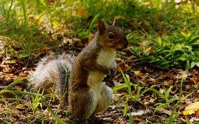 écureuil, rongeur, animaux