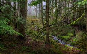 foresta, alberi, piccolo fiume, torrente, natura