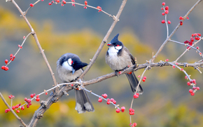 BRANCH, garden, tree, BERRY, China, birds
