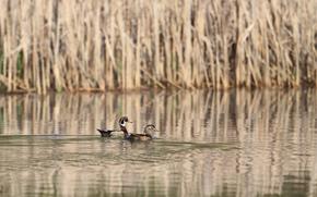 Duck, reed, lake