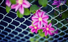 foliage, wallpaper, flowers, PINK, floret, background, fullscreen, Widescreen, Petals, leaves, net, Widescreen, fence, Flowers