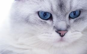 COTE, Muschi, ansehen, weiß, Augen, blau, Maulkorb