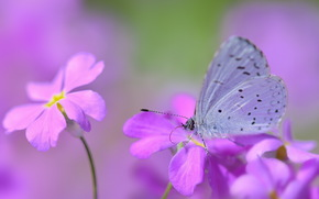 butterfly, blur, Flowers, pink and purple