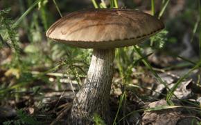 carta da parati, berretto marrone porcini, estate, sfondo, funghi, Macro, impianto
