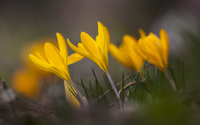 focus, grass, Macro, Flowers, SPRING, yellow, Petals, blur, Crocuses