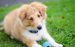 собака, трава, щенок, Шетлендская овчарка, Шелти