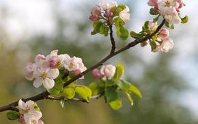 Flowers, SPRING, nature, Macro, butonchiki, apple, branch, flowering