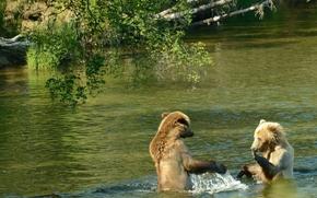 two brown bear, Brooks River, USA, water show, Alaska, Katmai National Park