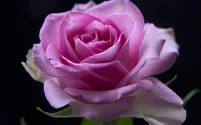 róża, BUD, Macro