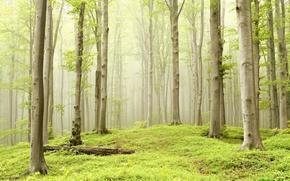 foresta, alberi, nebbia, natura