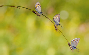 Spikelets, trio, Butterflies, light background, blade