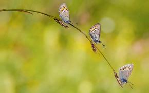 Spighette, trio, Farfalle, sfondo chiaro, lama