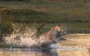 acqua, spruzzo, leonessa, predatore
