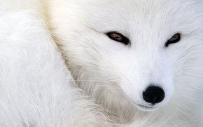 occhi, visualizzare, museruola, fox, animali, animale, volpe polare, volpe artica, lana, naso, pelliccia