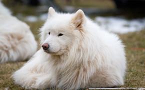 собака, пёс, лайка, самоед