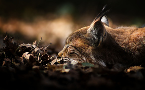 dry, predator, lies, foliage, lynx, sleeps