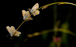 Butterflies, black background, trio, Spikelets, blade
