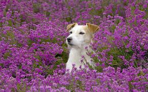 цветы, пёс, поле