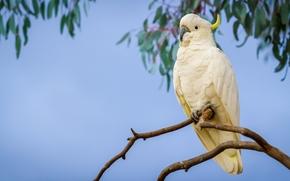 ветка, Большой желтохохлый какаду, попугай