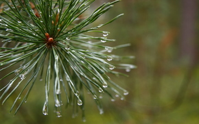 morning, forest, after rain, Macro, plant, pine