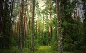 лес, сосны, ели, тропинка