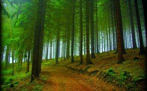 森林, 树, 道路, 性质, 雾